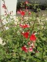 サルビア ホットリップ1鉢 宿根草 花苗 秋 ガーデニング イングリッシュガーデン 季節の花苗 苗物