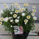 【花苗】はなかんざし 1鉢 Helipterum rosem 3.5号【お届け中】 花かんざし ハナカンザシ 花苗 ガーデン苗 寄せ植え 冬苗