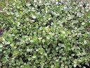 匍匐性常緑低木 ワイヤープランツ マット6枚セット【お届け5月上旬頃〜】 Muehienbeckia axillairs マット植物【送料無料】【同梱&代金引換不可】