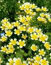 リムナンテス ダグラシー Limnanthes イングリッシュ ガーデン