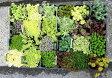 セダム・ステップストーンタイプ 6品種6ポットセット【多肉植物 苗 セット 寄せ植え】色とりどりのおまかせ6品種6ポットセット
