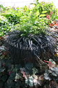 I set 10.5cm2 bowl Ophiopogon plaiscapus'Nigrescens'2 stock more than 3 Ophiopogon japonicus black dragon buds