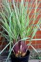 パンパス グラス シルバーストライプ Cortaderia selloana cv. Albolineata7号鉢 送料無料