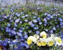 ベロニカ オックスフォードブルー 1鉢【お届け10月上旬頃〜秋苗先行予約】3.5号【花苗 多年草 青花 草丈中 イングリッシュガーデン 苗 鉢植え 庭植え ガーデニング 花壇 ハンギングバスケット】Veronica peduncularis Oxford Blue