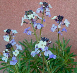 宿根チェイランサス・エリシマム・プルプレア1鉢Erysimumlinifolium''