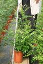 日陰に強いインテリア観葉植物 シマトネリコ7号鉢