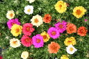 Eight folds of ten sets of rose moss MIX seedling Portulaca grandiflora Margarita