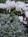 モクビャッコ 木白虹 1鉢3号 crossostephium, chinense【シルバーリーフ 寄せ植え リースの寄せ植え 多年草】