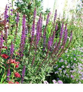 サルビア ネモローサ カラドンナ イングリッシュ ガーデン