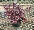 赤葉細葉千日草 アルテナンテラ・ポリゴノイデス1鉢Alternanthera polygonoides 'Red'
