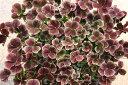 トリフォリウム ティント セピア 1鉢 2.5号 クローバーTtrifolium Sepia カラーリーフ 花苗 ガーデニング 寄せ植え