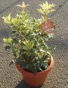 ヒイラギ ゴシキ 5号鉢  Osmanthus heterophyllus Goshiki 【ヒイラギ 鉢植え 苗 柊 寄せ植え ガーデニング 冬】