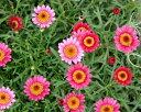 マーガレット Argyranthemum frutescens
