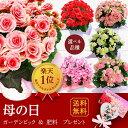 【遅れてごめんね】母の日 ギフト 花 鉢植え 大輪薔薇咲きリ...