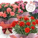【母の日ギフト】カーネーション 鉢植え 選べる6種 5号1鉢...