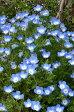 ネモフィラ 2種類からセレクト 1鉢3.5号 Nemophila【春苗 花苗 一年草 青花 イングリッシュガーデン 苗 鉢植え 庭植え ガーデニング 花壇】