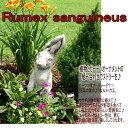 ルメックス サンギネウス 1鉢3号【お届け中】苗 春苗 多年草 草丈低 カラーリーフ グランドカバー イングリッシュガーデン 苗 鉢植え 庭植え ガーデニング 花壇 Rumex sanguineus Red Veined Dock555