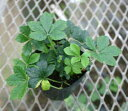 1 outlook on leaf sugar Bein 3 bowl parthenocissus sugervine of the popularity