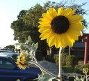 ひまわり シルバーサンシャイン 1鉢 ヒマワリ 夏苗 向日葵 シルバーリーフ 1年草 鉢植え 花苗 夏 庭植え