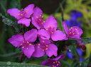 西洋ツユクサ レッドグレープ大苗1鉢セット Tradescantia【花壇、花苗、多年草】