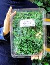 フレッシュグリーンスムージーを作ろう♪★栄養化の高い 朝どり カーリー ケール 1パック200グラム【野菜苗★】