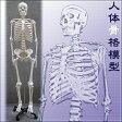 人体骨格模型【ヒューマンスカル】(a04179)