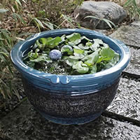 No. 15, sea cucumber color water bowls! Shin Raku suiren pots! Ideal for fish bowls, fish bowl! Water lilies pots / pottery water lily pot / Lotus pots / already pot / medaka pots / pots / pottery / water coupled pots / water bowl / water lilies pots / e