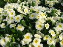 日陰にオススメ!「宿根プリムラ・ブルガリス 白花 10・5cmポット苗」