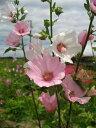 ひなた向き・夏の宿根草!「ラバテラ『バーンズリー』 10.5cmポット苗」
