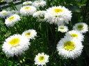 宿根草 ひなた向き 「シャスターデージー『ホワイトフォルカ』 大きめサイズの12cmポット苗」