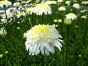 ひなた向き 宿根草 「シャスターデージー『コブハムゴールド』 大きめサイズの12cmポット苗」
