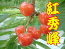 500 g of cherry rouge exceedingly high mountains from Yamagata rose final stage (秀 LL, L) [cool delivery service] [free shipping] [RCP]
