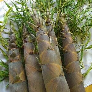 山口県産摘み立て「淡竹(ハチク・はちく・たけのこ・筍)」4kg