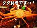 本場の番ガニ[送料無料][冷蔵]香住の活松葉かに(ズワイガニ) 中サイズ600g(1匹)[ずわいがに]
