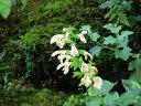 山野草:斑入りキバナアキギリ