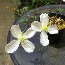 山野草:クレマチス 白花モンタナ