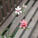 山野草:ヒメヒオウギ 9cmポット苗