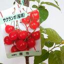 さくらんぼ 苗 苗木 サクランボ 大型 桜桃 暖地 9号 120cm 庭木 チェリー 果樹 果樹苗 通販