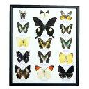 【あす楽】【送料無料】昆虫の標本 世界のチョウチョ 15頭 (大) No1〜7