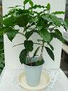 コーヒーの木(6号鉢植え・鉢高約60cm)