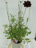 チョコレートコスモス(チョカモカ)4号鉢植え