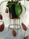 食虫植物ネペンテス 5号鉢植え
