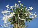 【富貴蘭】玉金剛(たまこんごう)4-5条/ 花 蘭 古典植物 フウラン
