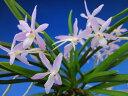 【富貴蘭】藤娘(ふじむすめ)1条/ 花 蘭 古典植物 フウラン