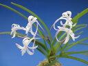 【富貴蘭】桃姫(ももひめ)3条/ 花 蘭 古典植物 フウラン