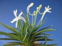 【富貴蘭】鳳凰丸(ほうおうまる)3条/ 花 蘭 古典植物 フウラン
