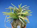 【富貴蘭】花衣(はなごろも)2条/ 花 蘭 古典植物 フウラン