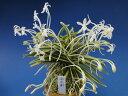 【富貴蘭】西出都(にしでみやこ)1条/ 花 蘭 古典植物 フウラン