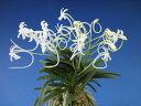 【富貴蘭】聖代(せいだい)3条/ 花 蘭 古典植物 フウラン