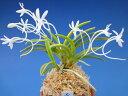 【富貴蘭】黄金錦(こがねにしき)3条/ 花 蘭 古典植物 フウラン